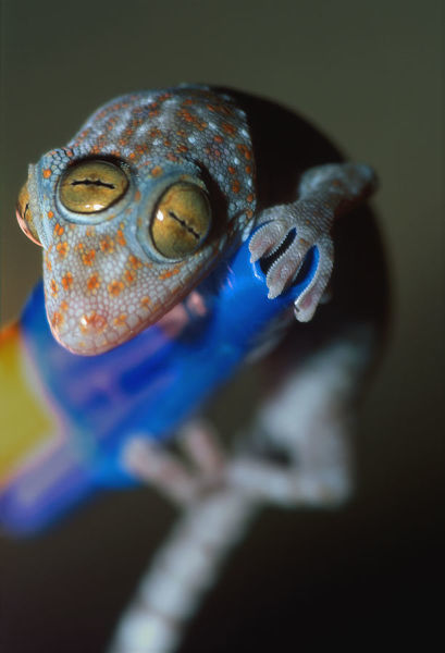 """Amphibian,Animals & Wildlife,Baby,Bizarre,Blue,Close-Up,Gecko,L, 77888677"