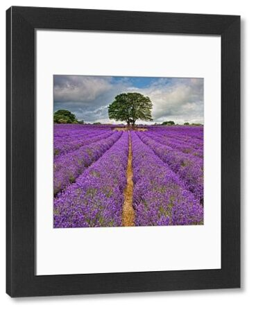 A field in England full of lines of Lavender. The converging lines lead to a centrally placed tree against a partly cloudy blue sky