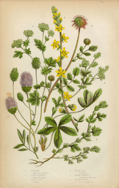 Very Rare, Beautifully Illustrated Antique Engraved Botanical Illustration of Agrimony, Sticklewort, Ladya??s Mantle, Archemilla, Sanguisorba and Burnet, Victorian Botanical Illustration, from The Flowering Plants and Ferns of Great Britain, Published in 18