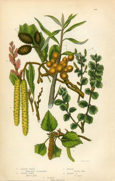 Very Rare, Beautifully Illustrated Antique Engraved Alder, Sallow, Sallow Thorn, Sweet Gale, Birch Tree, Victorian Botanical Illustration, from The Flowering Plants and Ferns of Great Britain, Published in 1846. Copyright has expired on this artwork