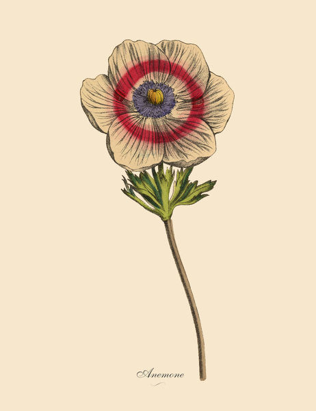 Very Rare, Beautifully Illustrated Antique Engraved Victorian Botanical Illustration of Anemone Plants, Victorian Botanical Illustration Plate 58, from The Book of Practical Botany in Word and Image (Lehrbuch der praktischen Pflanzenkunde in Wort und Bild)
