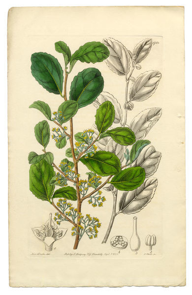 Very Rare, Beautifully Illustrated Antique Engraved and Hand Colored Victorian Botanical Illustration of Azara, Toothed Azara, Polyandria Monogynia Victorian Botanical Illustration, 1835, Plants, Victorian Botanical Illustration Plate 1788, Published in 1835