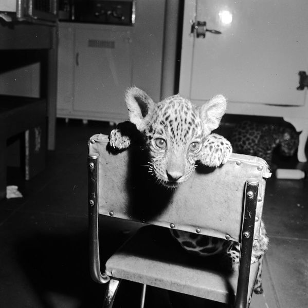 Baby Jaguar. A baby jaguar sitting on a chair in the nursery of Bronx Park Zoo, New York
