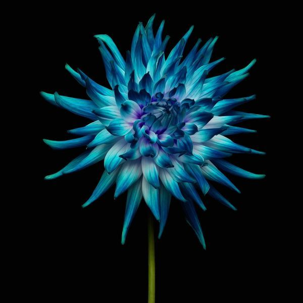 Beauty In Nature, Black Background, Blue, Close-Up, Cut Out, Flower, Flower Head