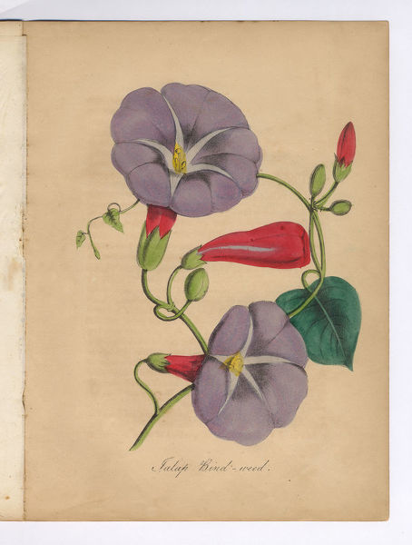 Extremely Rare, Beautifully Illustrated Antique Victorian Engraved Botanical Illustration of the Bind Weed or Morning Glory from The American Flora, History of Plants and Wild Flowers: Their Scientific and General Descriptions, Natural History