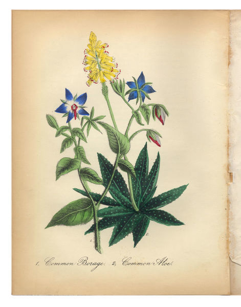 Extremely Rare, Beautifully Illustrated Antique Victorian Engraved Botanical Illustration of the Hand Colored Borage, or Starflower/Star Of Bethlehem, and Common Aloe from The American Flora, History of Plants and Wild Flowers: Their Scientific