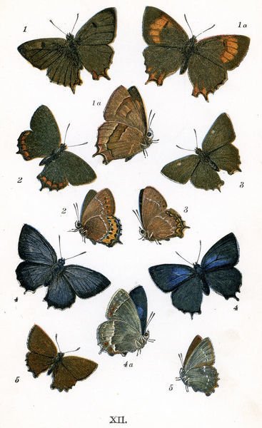 Vintage lithograph from 1860 of Butterflies. 1. Brown Hair Streak, 1a. Female, 2. Black Hair Streak, 3. White Letter Hair Streak, 4. Purple Hair Streak, 4a. Female, 5. Green Hair Streak