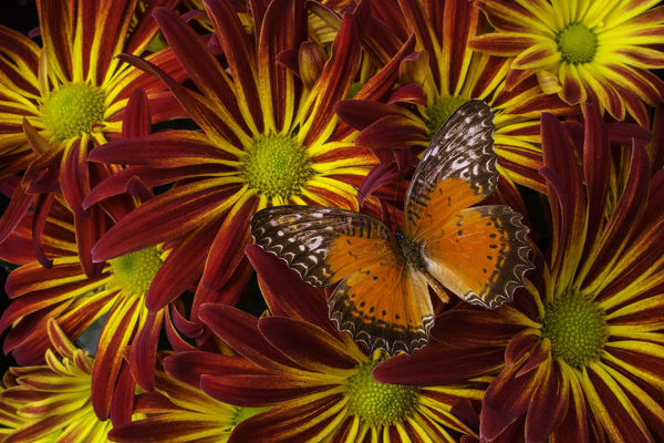 Butterfly resting on chrysanthemums