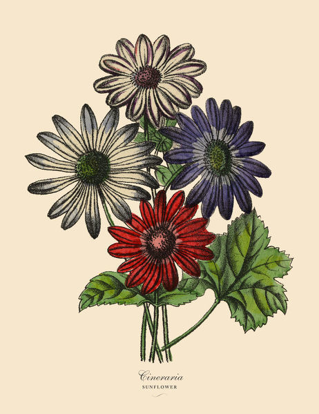 Very Rare, Beautifully Illustrated Antique Engraved Victorian Botanical Illustration of Cineraria or Sunflower Plants, Victorian Botanical Illustration Plate 57, from The Book of Practical Botany in Word and Image (Lehrbuch der praktischen Pflanzenkunde
