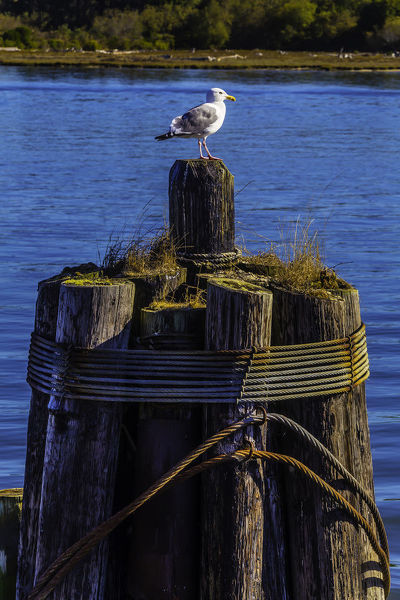 Seagull On Pilings