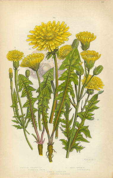 Very Rare, Beautifully Illustrated Antique Engraved Dandelion, Crepis, Hawksbeard, Borkshausia, Victorian Botanical Illustration, from The Flowering Plants and Ferns of Great Britain, Published in 1846. Copyright has expired on this artwork
