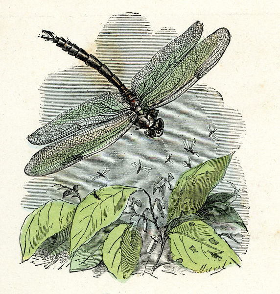 Dragonfly. Victorian vintage engraving of a dragonfly, France, 1875