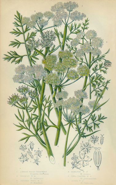 Very Rare, Beautifully Illustrated Antique Engraved Dropwort, Parsley, Hemlock, Victorian Botanical Illustration, from The Flowering Plants and Ferns of Great Britain, Published in 1846. Copyright has expired on this artwork. Digitally restored