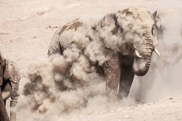 Elephant throwing dust over his head after his bath at a waterhole in Namibia