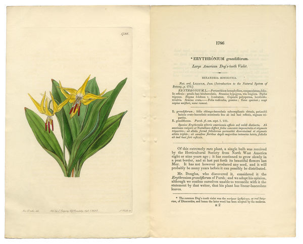 Very Rare, Beautifully Illustrated Antique Engraved and Hand Colored Victorian Botanical Illustration of American Doga??s Tooth Violet, Erythronium Grandiflorum, Hexandria Monogynia, Victorian Botanical Illustration, 1835, Plants, Victori