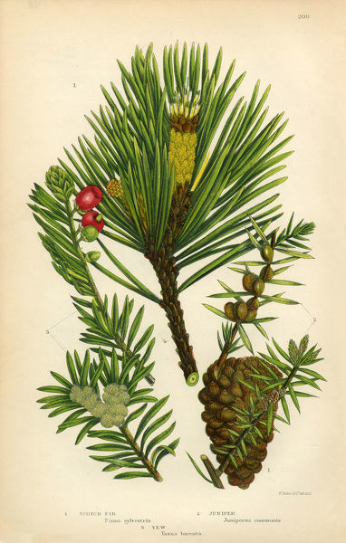 Very Rare, Beautifully Illustrated Antique Engraved Fir, Scotch Fir, Pine, Juniper, Scotch Pine, Victorian Botanical Illustration, from The Flowering Plants and Ferns of Great Britain, Published in 1846. Copyright has expired on this artwork