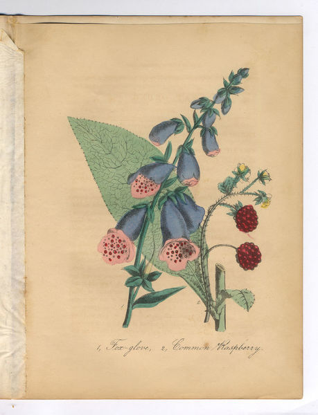 Extremely Rare, Beautifully Illustrated Antique Victorian Engraved Botanical Illustration of the Handcolored Foxglove, Digitalis, and Raspberry from The American Flora, History of Plants and Wild Flowers: Their Scientific and General Descriptions