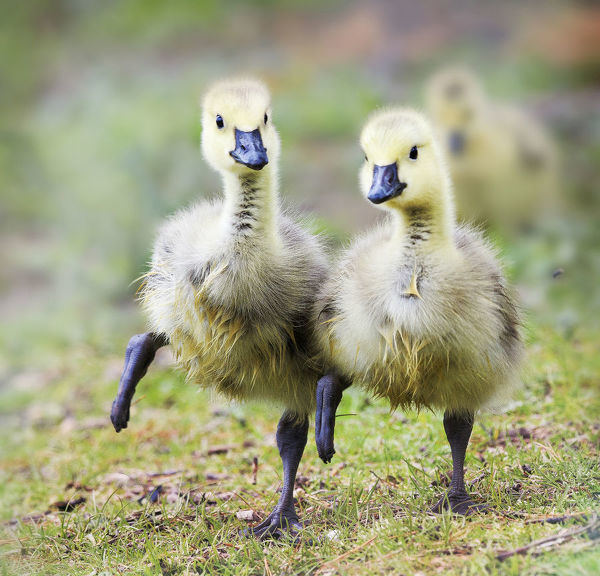 Two Goslings in Perfect Step Together at Babylon, Long Island