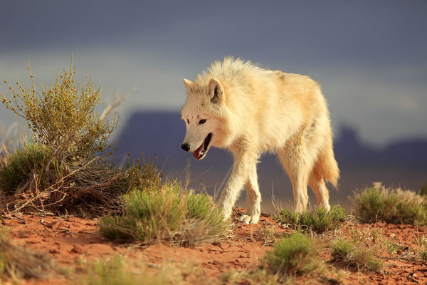 Gray wolf, timber wolf, (Canis lupus), Monument Valley, Utah, USA
