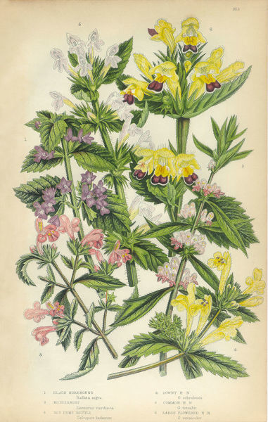 Very Rare, Beautifully Illustrated Antique Engraved Horehound, Lamiaceae, Motherwort, Leonurus cardiaca, Nettle, Urtica dioica, Stinging Nettle, Hemp, Victorian Botanical Illustration, from The Flowering Plants and Ferns of Great Britain, Published in 1846
