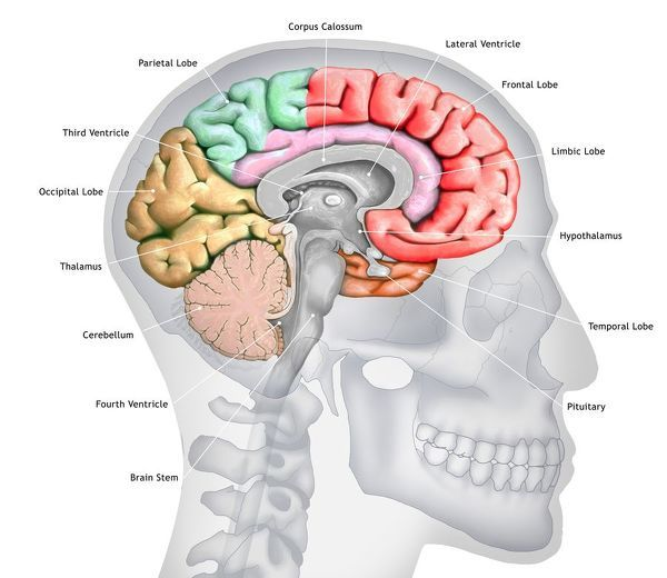 Illustration of a cross-section of the brain showing the various lobes. The lobes are shown in different colours - red (frontal), green (parietal), yellow (occipital), orange (temporal), and pink (limbic). Also shown are the various ventricles