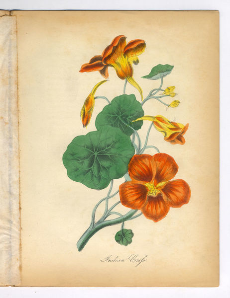 Extremely Rare, Beautifully Illustrated Antique Victorian Engraved Botanical Illustration of the Hand Colored Indian Cress from The American Flora, History of Plants and Wild Flowers: Their Scientific and General Descriptions, Natural History
