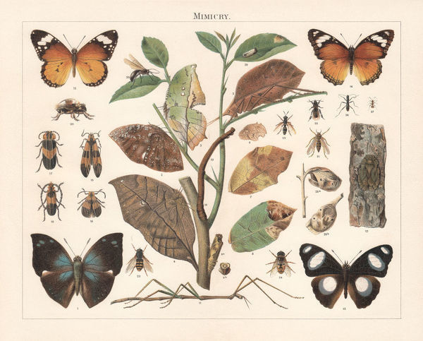 Mimicry of insects: 1-12 Imitation of green and withered leaves, twigs, and bark; 13-19) Imitation of inedible beetles and butterflies; 20-27) Imitation of dreaded insects (bees, wasps, ants) by those of other species; 28-30) Imitation of rotten objects