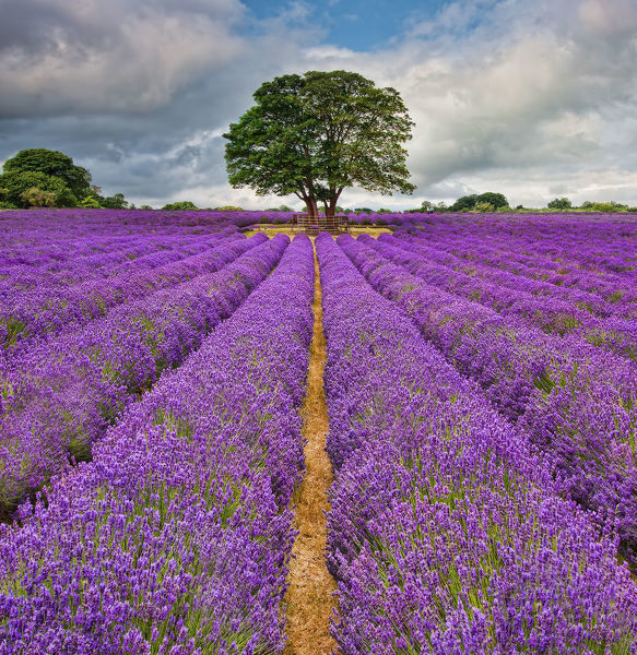 Lavender field. A field in England full of lines of Lavender