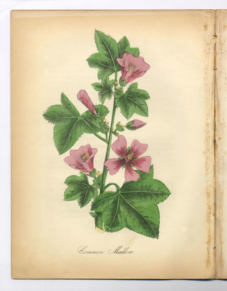 Extremely Rare, Beautifully Illustrated Antique Victorian Engraved Botanical Illustration of the Hand Colored Common Mallow from The American Flora, History of Plants and Wild Flowers: Their Scientific and General Descriptions, Natural History