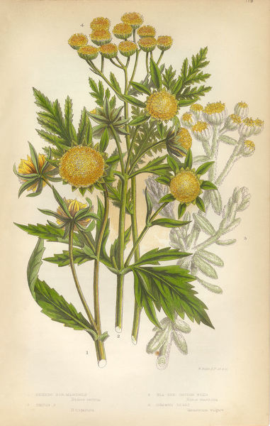 Very Rare, Beautifully Illustrated Antique Engraved Marigold, Cottonweed, Sunflower, Tansy, Victorian Botanical Illustration Victorian Botanical Illustration, from The Flowering Plants and Ferns of Great Britain, Published in 1846