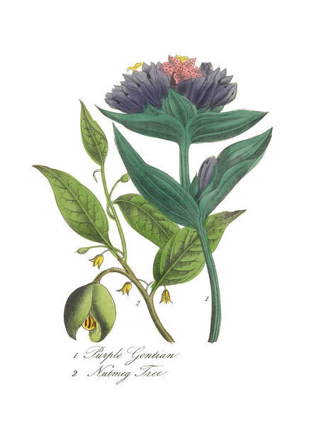 Extremely Rare, Beautifully Illustrated Antique Victorian Engraved Botanical Illustration of the Hand Colored Nutmeg Tree and Purple Gentian from The American Flora, History of Plants and Wild Flowers: Their Scientific and General Descriptions
