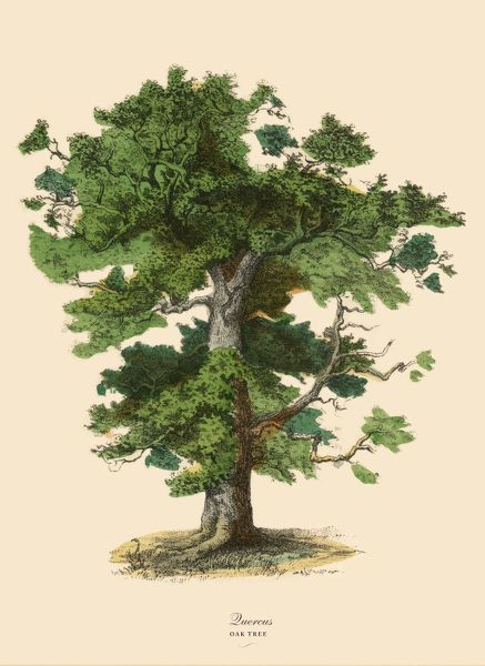 Very Rare, Beautifully Illustrated Antique Engraved Victorian Botanical Illustration of Oak Tree or Quercus: Plate 43, from The Book of Practical Botany in Word and Image (Lehrbuch der praktischen Pflanzenkunde in Wort und Bild), Published in 1886