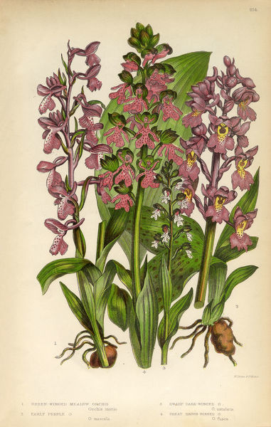 Very Rare, Beautifully Illustrated Antique Engraved Orchid, Meadow Orchid, Winged Orchid Victorian Botanical Illustration, from The Flowering Plants and Ferns of Great Britain, Published in 1846