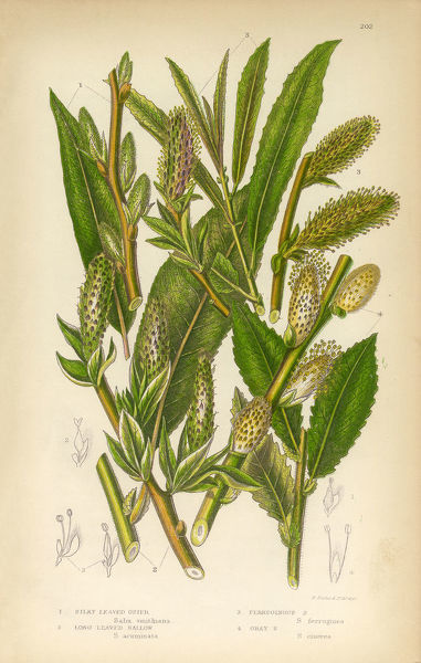 Very Rare, Beautifully Illustrated Antique Willow, Mountain Willow, Osier, Sallow, Long Leaved Sallow, Victorian Botanical Illustration, from The Flowering Plants and Ferns of Great Britain, Published in 1846. Copyright has expired on this artwork