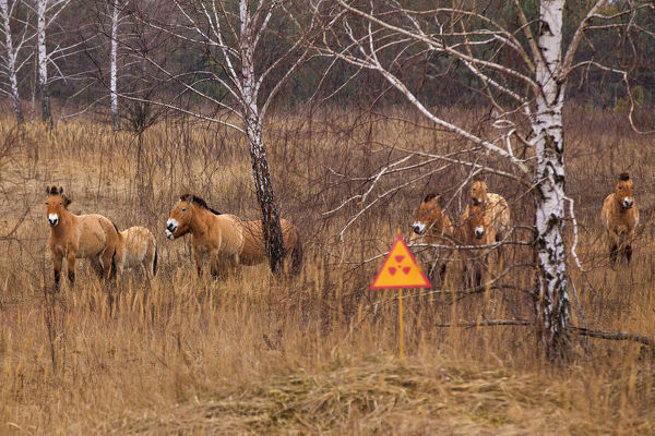 Przewalski's horse, which inhabited the Chernobyl zone. After 20 years the population has grown, and now they gallop on radioactive territories