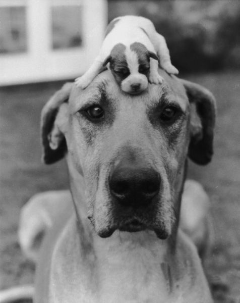 The best way to keep a puppy out of harm's way, circa 1950. (Photo by Express Newspapers/Hulton Archive/Getty Images)