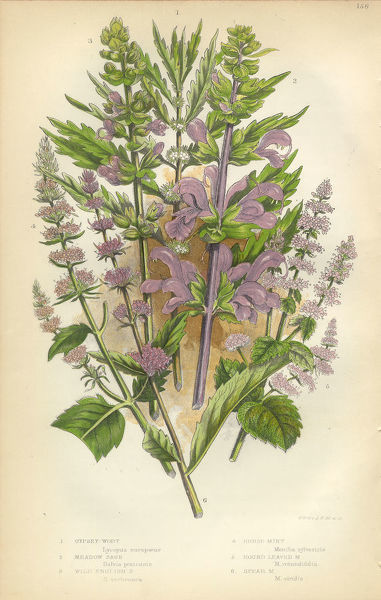 Very Rare, Beautifully Illustrated Antique Engraved Salvia, Sage, Mint, Spearmint, Gypsywort, Victorian Botanical Illustration, from The Flowering Plants and Ferns of Great Britain, Published in 1846