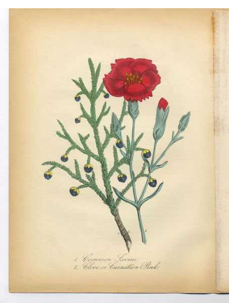 Extremely Rare, Beautifully Illustrated Antique Victorian Engraved Botanical Illustration of the Hand Colored Savine, Clove and Pink Carnation from The American Flora, History of Plants and Wild Flowers: Their Scientific and General Descriptions