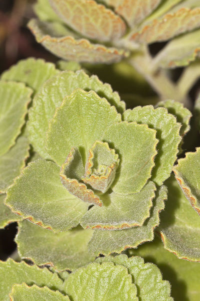 Scaredy cat plant -Coleus canina Hybr.-, drives away cats and dogs