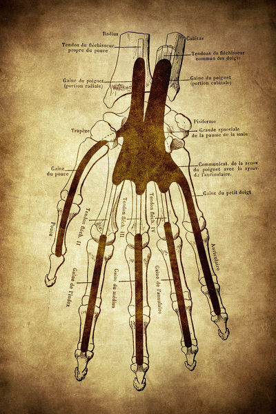 The skeleton of the hand with muscle insertions and tetives ,ligaments