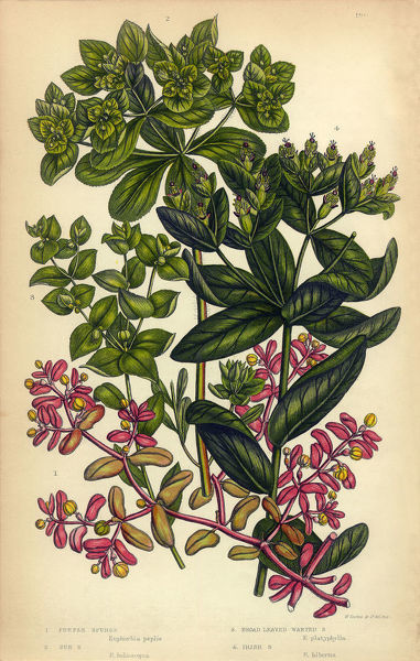 Very Rare, Beautifully Illustrated Antique Engraved Spurge, Irish Spurge, Sun Spurge, Victorian Botanical Illustration, from The Flowering Plants and Ferns of Great Britain, Published in 1846