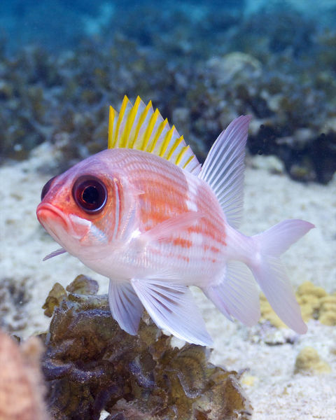 Squirrelfish have the most innocent and sad expression