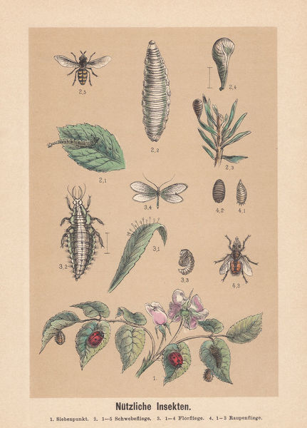 Useful insects: 1) seven-spot ladybird (Coccinella septempunctata); 2) 1-5 hoverfly (Syrphidae); 3) 1-4 lacewing (Chrysopidae); 4) 1-3 tachinid fly (Tachinidae). Hand-colored lithograph, published in 1888
