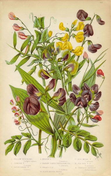 Very Rare, Beautifully Illustrated Antique Engraved Botanical Illustration of Vicia, Yellow Vetch Black Bitter Vetch and Pea, from The Flowering Plants and Ferns of Great Britain, Published in 1846