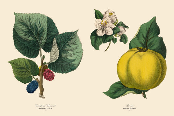 Very Rare, Beautifully Illustrated Antique Engraved Victorian Botanical Illustration of Victorian Botanical Illustration of Chestnut Tree and Quince Plants, Victorian Botanical Illustration Plate 59, from The Book of Practical Botany in Word and Image