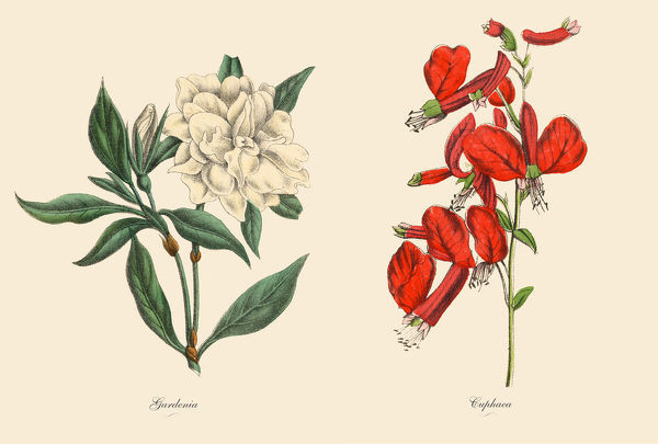 Very Rare, Beautifully Illustrated Antique Engraved Victorian Botanical Illustration of Victorian Botanical Illustration of Cuphaea and Gardenia Plants, Victorian Botanical Illustration Plate 59, from The Book of Practical Botany in Word and Image