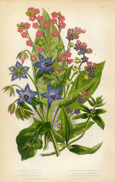 Very Rare, Beautifully Illustrated Antique Engraved Botanical Illustration of Houndstongue, Madwort, Borage, Victorian Botanical Illustration, from The Flowering Plants and Ferns of Great Britain, Published in 1846. Copyright has expired on this artwork