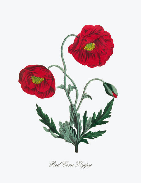 Extremely Rare, Beautifully Illustrated Antique Victorian Engraved Botanical Illustration of the Hand Colored Red Corn Poppy from The American Flora, History of Plants and Wild Flowers: Their Scientific and General Descriptions, Natural History