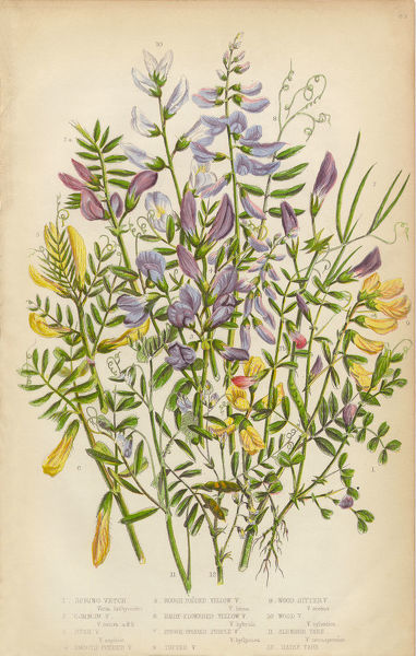 Very Rare, Beautifully Illustrated Antique Engraved Botanical Illustration of Spring Vetch, Vicia, and Wood Bitter, from The Flowering Plants and Ferns of Great Britain, Published in 1846. Copyright has expired on this artwork. Digitally restored