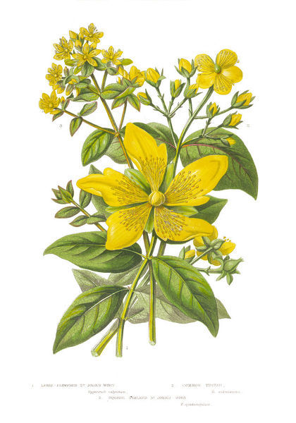 Very Rare, Beautifully Illustrated Antique Engraved Botanical Illustration of St. John's Wort from The Flowering Plants and Ferns of Great Britain, Published in 1846. Copyright has expired on this artwork. Digitally restored